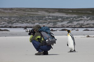 Curious penguin on Falkland Islands