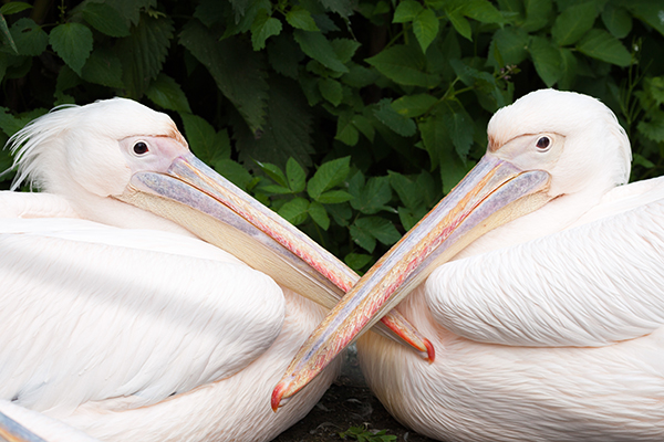 great white pelican; Pelecanus onocrotalus