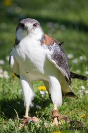 Variable hawk; Geranoaetus polyosoma