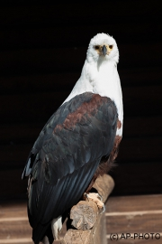 African fish eagle; Haliaeetus vocifer