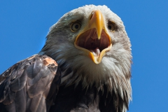 Haliaeetus leucocephalus; bald eagle