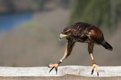 Parabuteo unicinctus; Harri's hawk