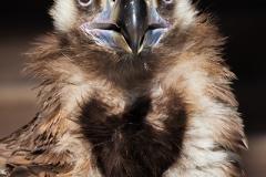 Cinereous vulture, Aegypius monachus