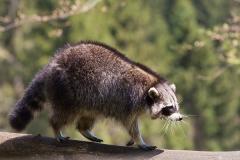 Raccoon; Procyon lotor