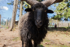 Racka sheep; Ovis aries strepsiceros Hungaricus