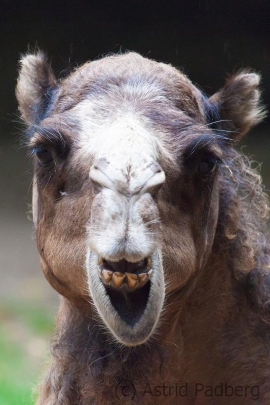 Bactrian camel, Osnabrück Zoo