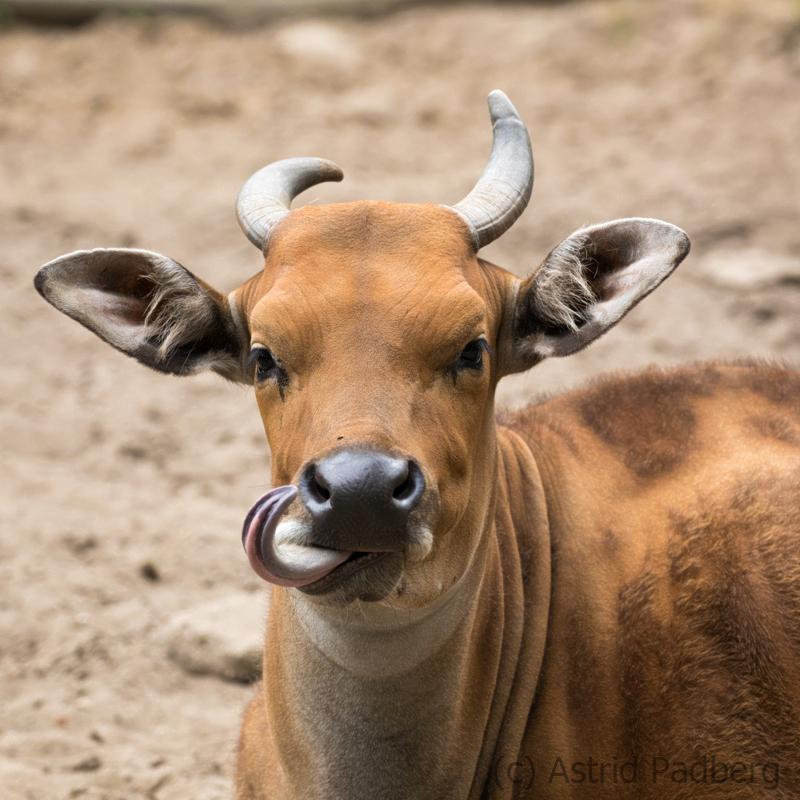Banteng, Breslau Zoo (PL)