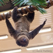 Two-toed sloth, Wuppertal Zoo