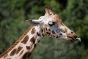 Rothschild's giraffe, Zoom Gelsenkirchen