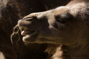 Bactrian camel, Dortmund Tierpark