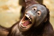 Orang Utan, Krefeld Zoo