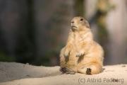 Prairie dog, Emmen Zoo