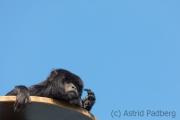 black howler monkey, Pairi Daisa (B)