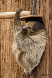 Two-toed sloth, Dortmund Zoo