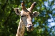 Giraffe, Dortmund Tierpark