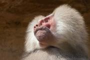 Hamadryas baboon, Köln Zoo