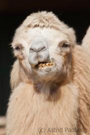 Bactrian camel, Zoom Gelsenkirchen