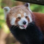 Red panda, Zoom Gelsenkirchen