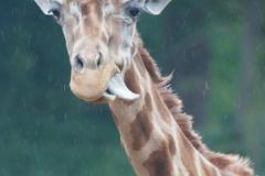 Reticulated giraffe, Osnabrück Zoo