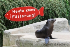 California sea lion, Wuppertal Zoo