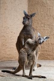 Western grey kangaroo, Basel Zoo