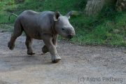 Black rhinoceros, Krefeld Zoo
