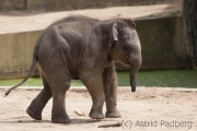 Asiatischer Elefant; Elphas maximus; Asian Elephant