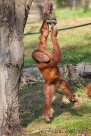 Sumatran orang-utan, Zoom Gelsenkirchen