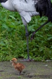 black-necked crane, Vogelpark Walsrode