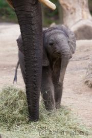 African savanna elephant
