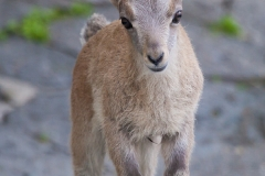Alpine ibex; Capra ibex, Bern Zoo