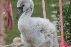 Greater flamingo, Basel Zoo