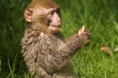 Barbary macaque, Zoo Rheine