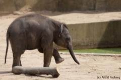 Asiatischer Elefant; Elphas maximus; Asian Elephant