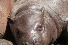 Hippopotamus amphibius, Duisburg Zoo