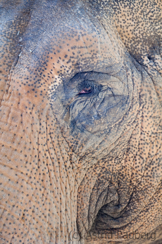 Asiatischer Elefant;  Asiatic elephant; Elephas maximus