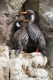 Red-legged cormorant, Puerto Desado