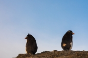 Southern rockhopper penguin, Bleaker Island