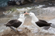 Black-browed albatross, Saunders