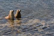 Southern sea lion, Sea Lion Island