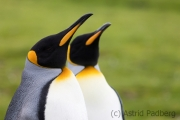 King penguin, East Falkland