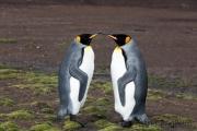 King penguin, East Falkland