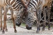 Zebras, Wuppertal Zoo