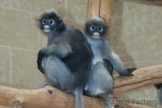 dusky leaf monkey, Wuppertal Zoo