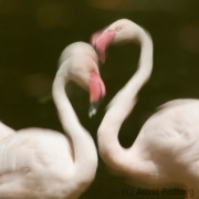 Greater flamingo, Bern Zoo (CH)