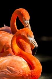 Flamingos, Duisburg Zoo