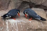 Inca tern, Krefeld Zoo