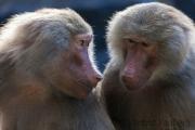Hamadryas baboon, Krefeld Zoo