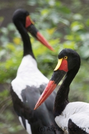 Saddle-billed stork, Pairi Daisa (B)