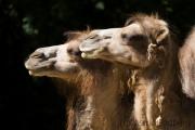 Bactrian Camel, Tierpark Dortmund